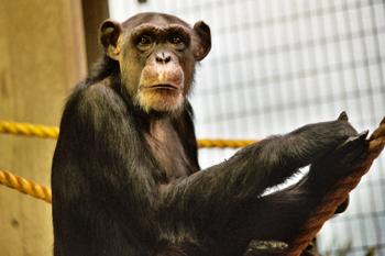 ximpanze.jpg