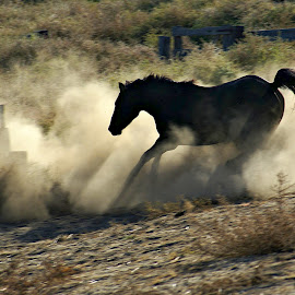 Whoooa by Gaylord Mink - Animals Horses ( dust, horse, run, escape, gate,  )
