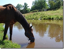 horse-drinking-water-from-pond