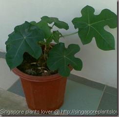Gout-plant2