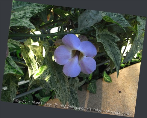 blue flowers vine