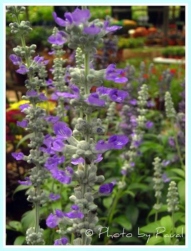 Singapore Plants Lover Purple Flowers