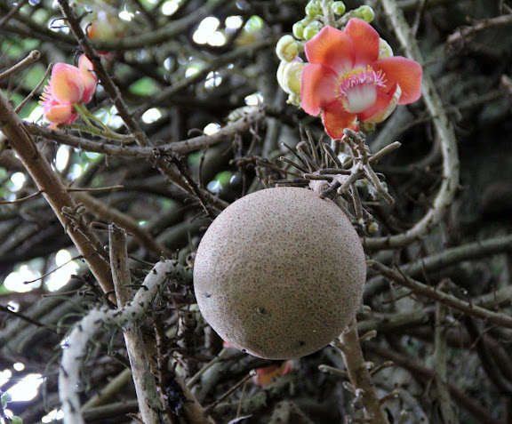 Cannonball Tree, fruits of couroupita guianensis