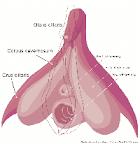 Anatomía del Clítoris