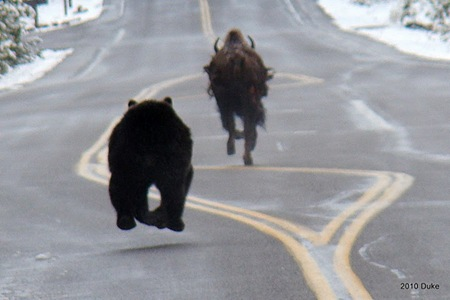 Bear Chasing Bison Down the Road 07