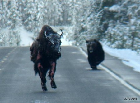 Bear Chasing Bison Down the Road 02
