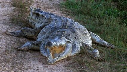 krokodil01-afp-francois-gohier_f