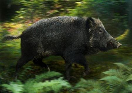 Wild Pigs 01