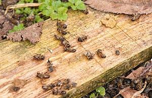 American Honeybees