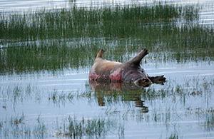 Ugandas-Hippopotamuses