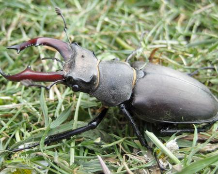 6. Stag Beetle – $89,000