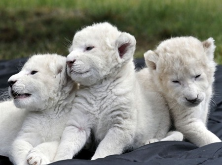 5. White Lion Cubs – $138,000