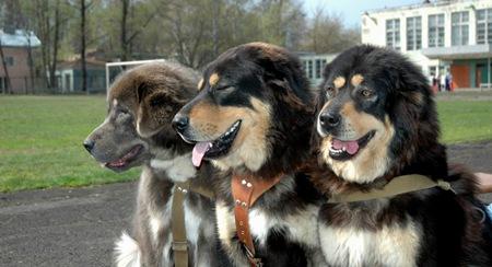 3. Tibetan Mastiff – $582,000