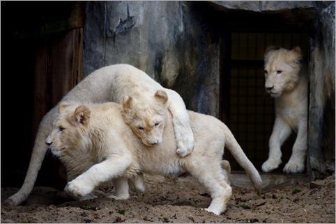 white lion 02