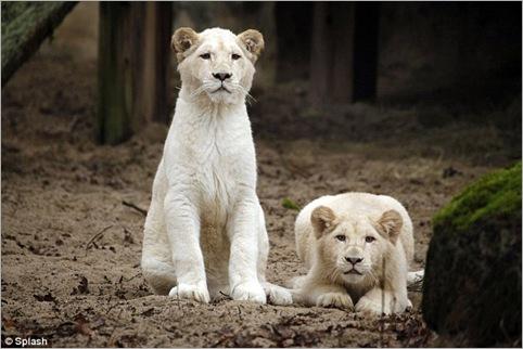 white lion 05