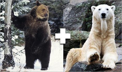 07-Grolar-Bear