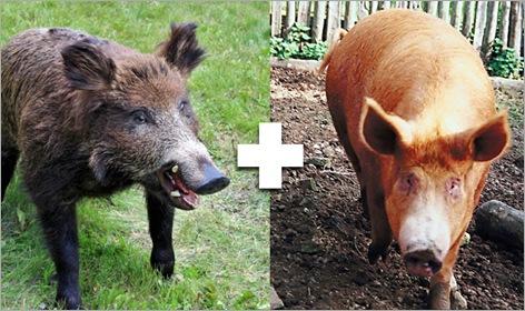 10-Iron-Age-Pig
