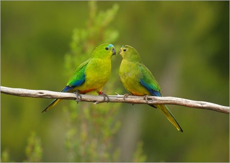 rare-birds-photo-contest-orange-bellied-parrots