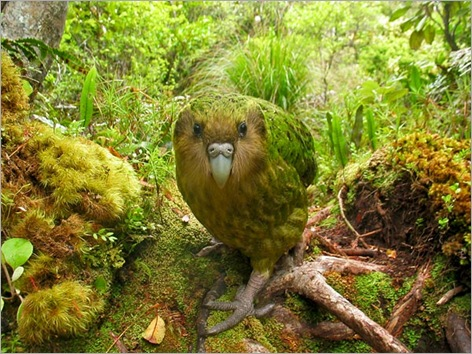 rare-birds-photo-contest-kakapo