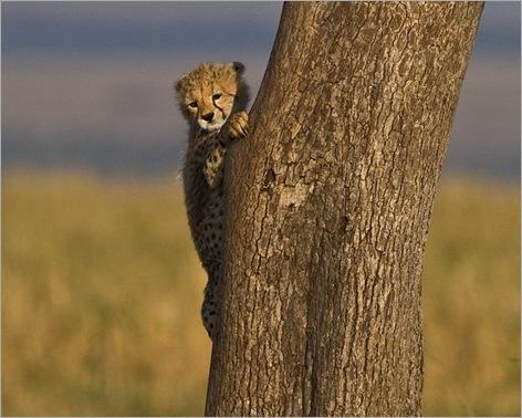 cheetah cubs 08