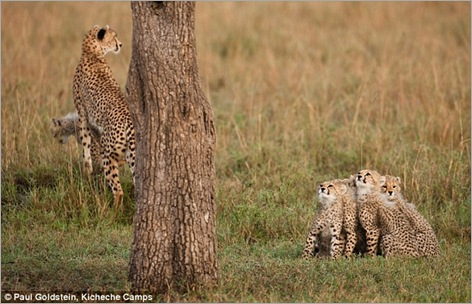 cheetah cubs 09