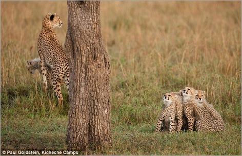 cheetah cubs 09