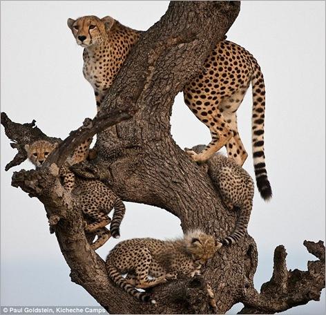 cheetah cubs 03