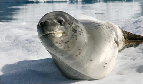 08-Leopard-Seal