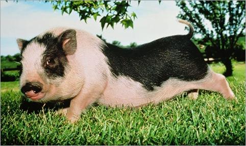 George Clooney's Pig