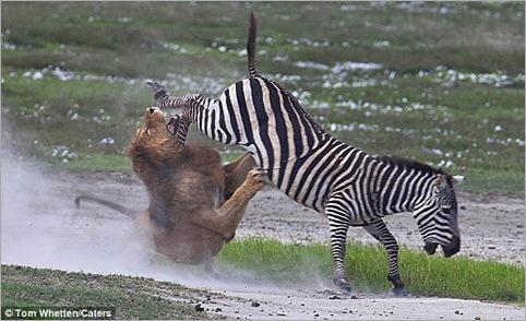 lion action 01