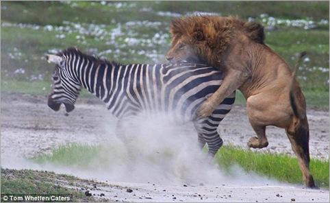 lion action 02