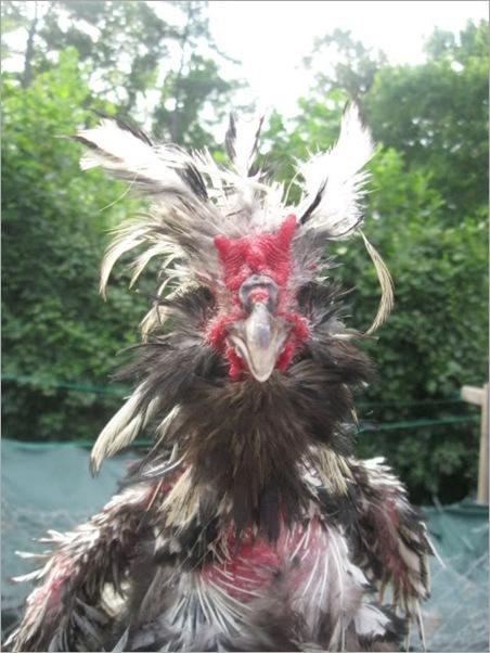 ugliest chiken