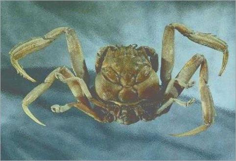 Heike Crab