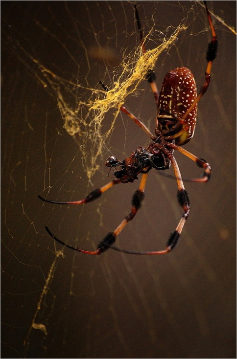Golden orb weavers 05
