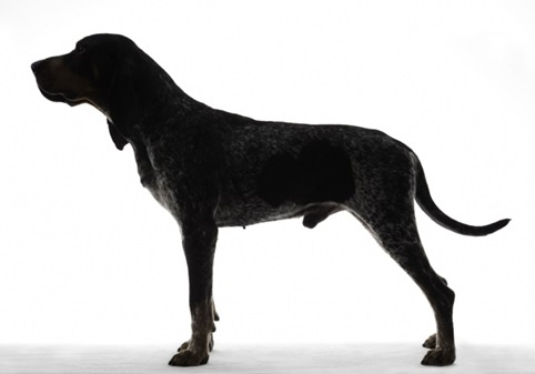 Bluetick Coonhound 01