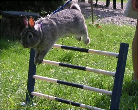 Rabbit show jumping