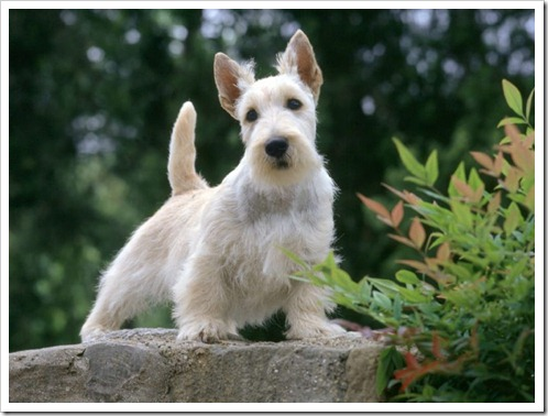 Scottish-Terrier-1-800x600