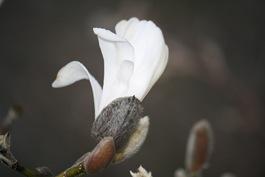 Magnolia 014