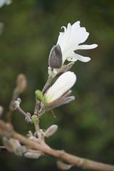 Magnolia 020