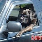 el-perro-conductor.jpg