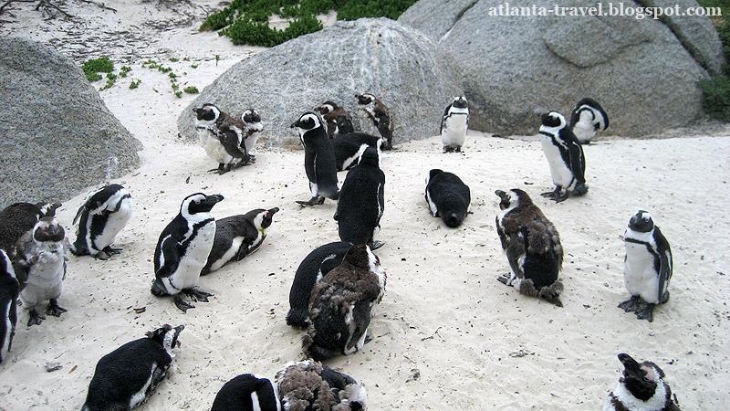 Boulders penguins, африканские пингвины