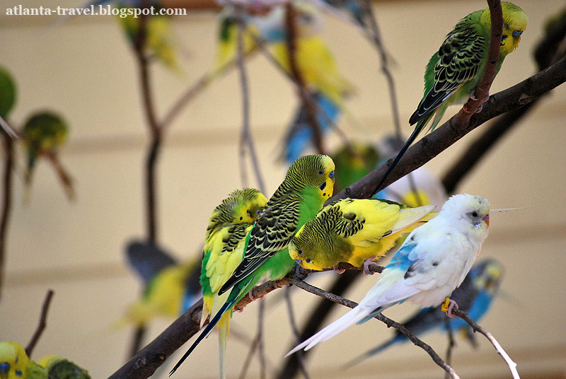 Atlanta Zoo - Волнистые попугайчики