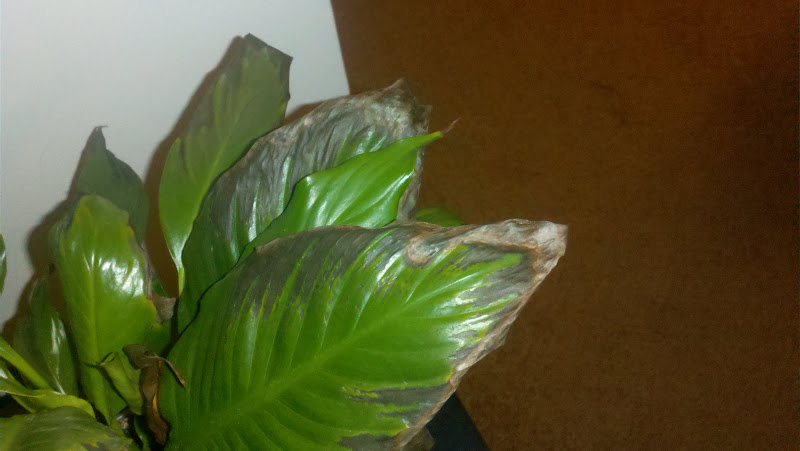 help peace lily dying with brown leaves pics included. Black Bedroom Furniture Sets. Home Design Ideas
