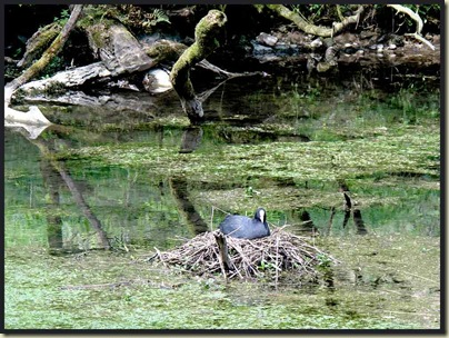 A dizzy nesting coot