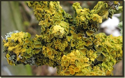 Common Orange Lichen - Xanthoria parietina (I think)