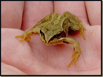 A common frog