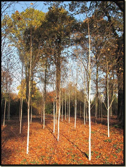 Silver birch trees in the Winter Garden