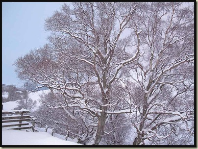 Trees in Glen Callater