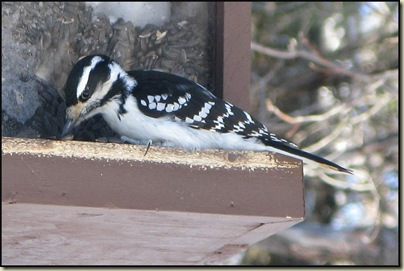 Hairy Woodpecker (Picoides villosus) on the feeder at Huron
