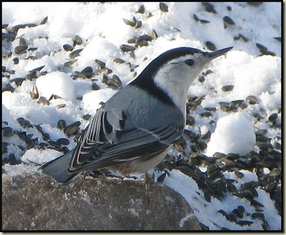 White-breasted Nuthatch (Sitta carolinensis) at Huron Cabin